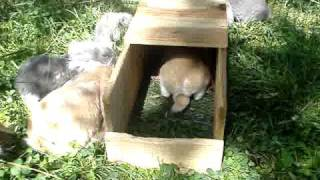 English Lop litter of rabbits - 7 weeks old- part 2