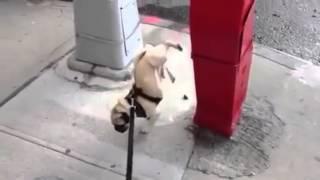 видео Свинка Пеппа мультфильм   У Пеппы закончилась туалетная бумага, Пеппа какала в туалете и обкакалась