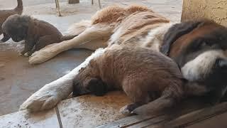 St. Bernard x Kangal mix puppies (Kanard breed) spending time with their parents.