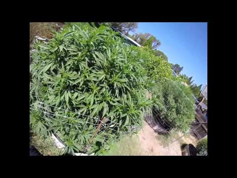 """How to grow """"Mendo Dope""""from Seed - Part 3 (Transition)"""