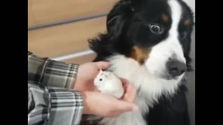 Dog is scared of hamster