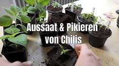 Chili Aussaat und pikieren - Die ultimative Aussaatanleitung für Chili, Peperoni, Tomate, Paprika #1