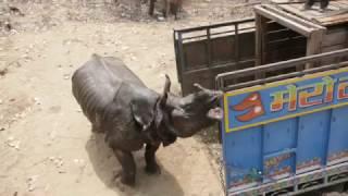 Rhino Released in Shuklaphanta National Park - Rhino Translocation 2017