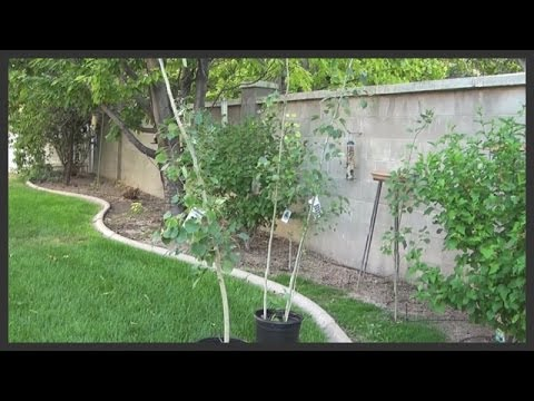 Planting aspen trees: Trying to save the Cherry Tree. Part Six