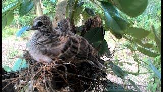 menemukan Sarang burung Perkutut liar di perkebunan lada