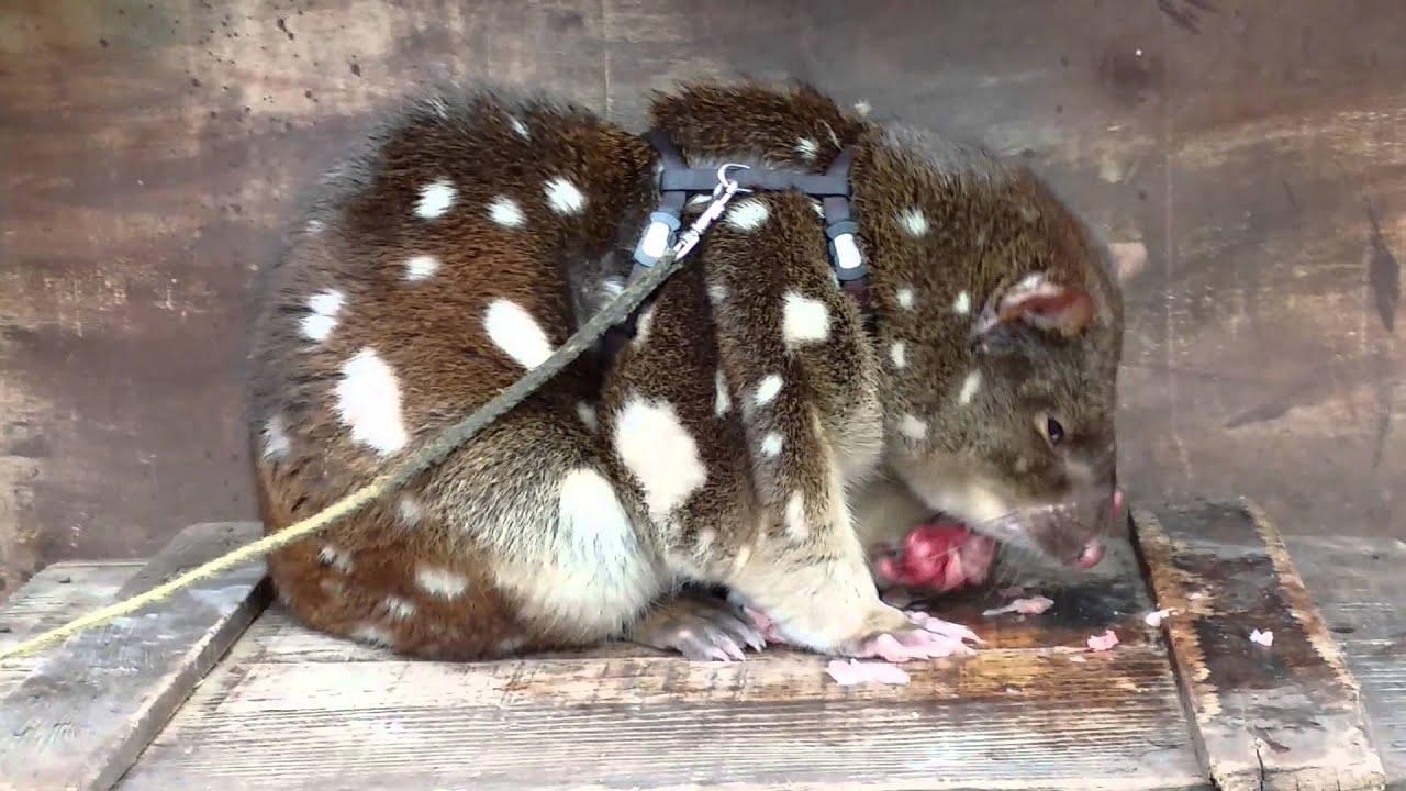 Австралия 2015.  Животные Австралии. Гигантский  Опоссум ( Australian  Opossum)