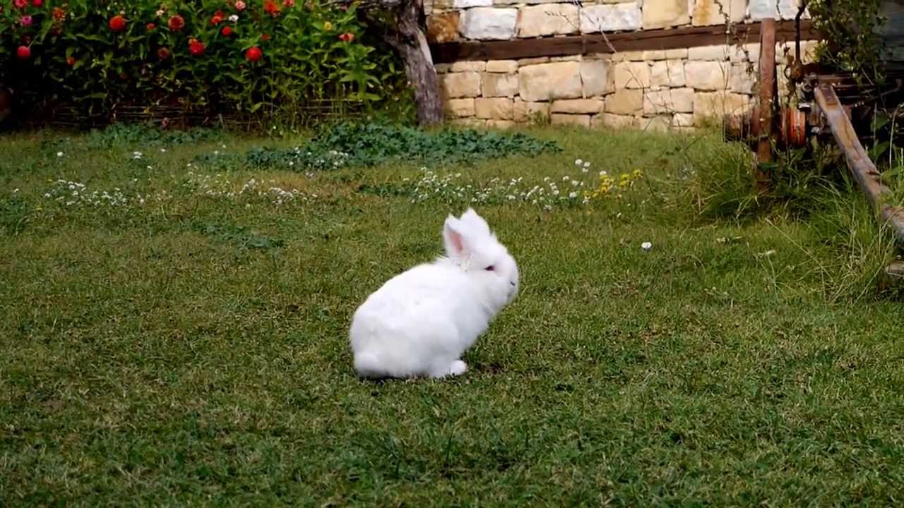 Cute white rabbit running around the yard - YouTube
