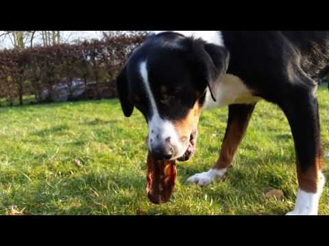 Appenzell Mountain Dog eating raw hare carcass *Delicious!* Raw Feeding for Dogs