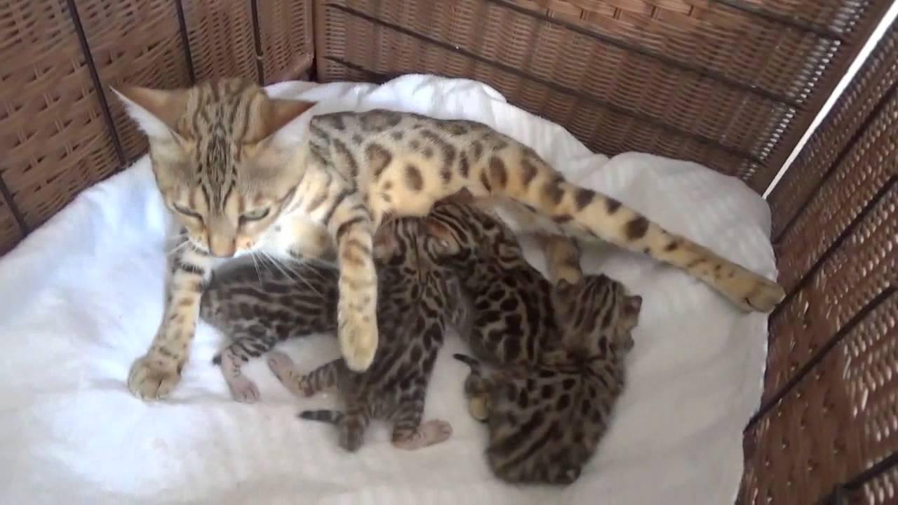 Bengal 7/2016 Kittens at 2-weeks (BengalBasket.com, Madison, WI ...