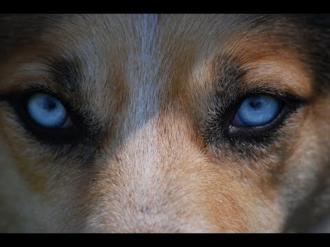 Top 10 Deadliest Dog Breeds in the world