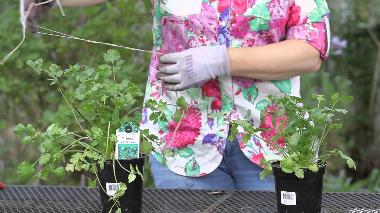 A Plant Spacing Guide For Cilantro In A Square Foot Garden : Garden Space