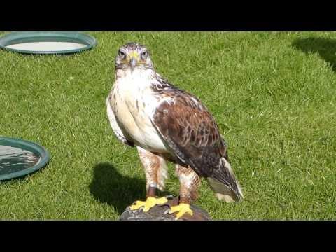 Ferruginous Hawk at RHS Wisley