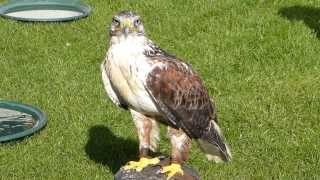 Ferruginous Hawk at RHS Wisley