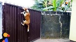 Dog Escape Artists Compilation | The Dodo
