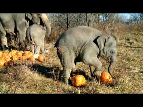African Lion Safari's Asian Elephants with pumpkins!