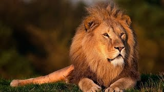 Lion Facts For Kids - Fun, Amazing Facts About Lions For Kids