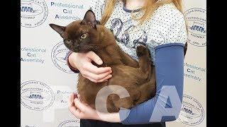 Соболиный кот бурма. Выставка кошек PCA on-line
