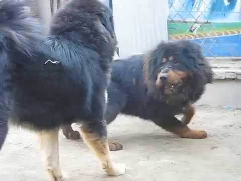 Funny Dogs Compilation | Tibetan Mastiff | Cute Dogs