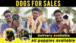 Dogs for Sales | All Puppies Available | Online Delivery | Dog Kennels in Chennai | Video Shop