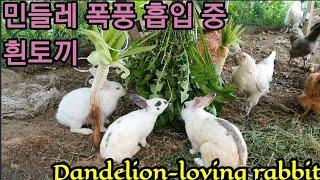 흰토끼가 민들레 맛에 꽂혔네 Dandelion-loving rabbit