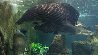 SUPER LARGE ARAPAIMA GIGAS FISH (prod. by LEON / Vid. by dbuulik)