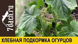 🥒 Повышаем урожайность огурцов: подкормка из хлеба - 7 дач