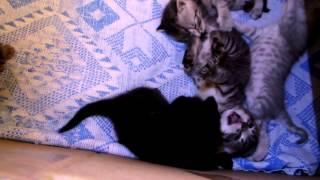 Котята скоттиш страйт/фолд