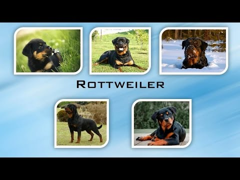 Rottweiler by World of Dogs