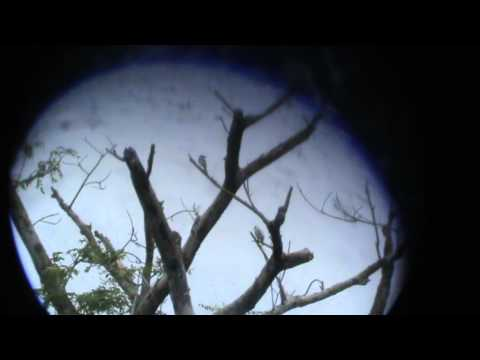 Birds of Colombia: Masked Tityra- Tityra semifasciata