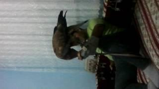 Şahin evde et yedirme buzzard