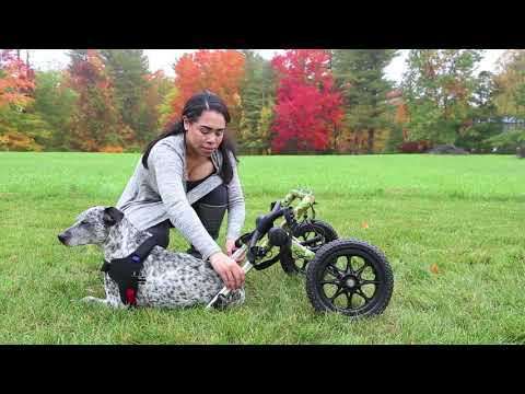 dog wheelchair rental - cinemapichollu