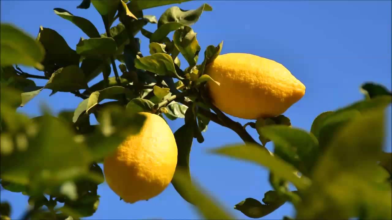 лимоны крупные на ветке фото этого