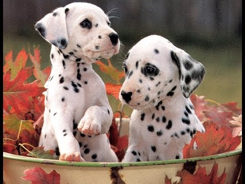 Dalmatian Puppies Dogs For Sale In Colorado Springs Colorado