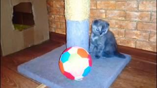 Продается котёнок || шотландская вислоухая || скоттиш фолд || Донецк питомник
