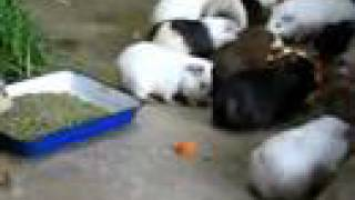 Guinea pigs FLOOD! meal time