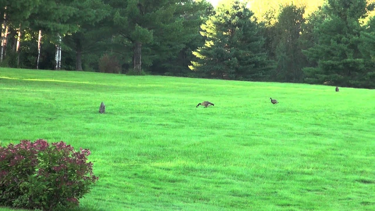 Canada Goose mens online fake - Coyote Decoys scare away Canada Geese - YouTube