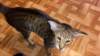 Ориентальная кошка Мася