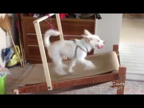 Snow White on a DIY carpet mill / treadmill (ลู่วิ่งสุนัข)
