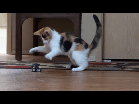 Crazy Cute Calico Kitten Goes NUTS Over Racecar