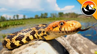 Finding a Fantastic Island Snake!