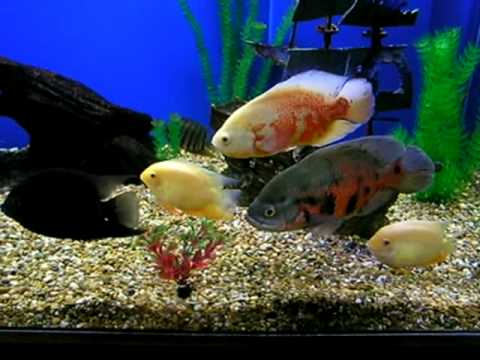 My 300 Gallon Fish Tank - Oscars and More (part 3)