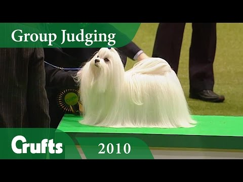 Maltese wins Toy Group Judging at Crufts 2010 | Crufts Classics