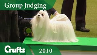 Maltese wins Toy Group Judging at Crufts 2010 | Crufts Dog Show