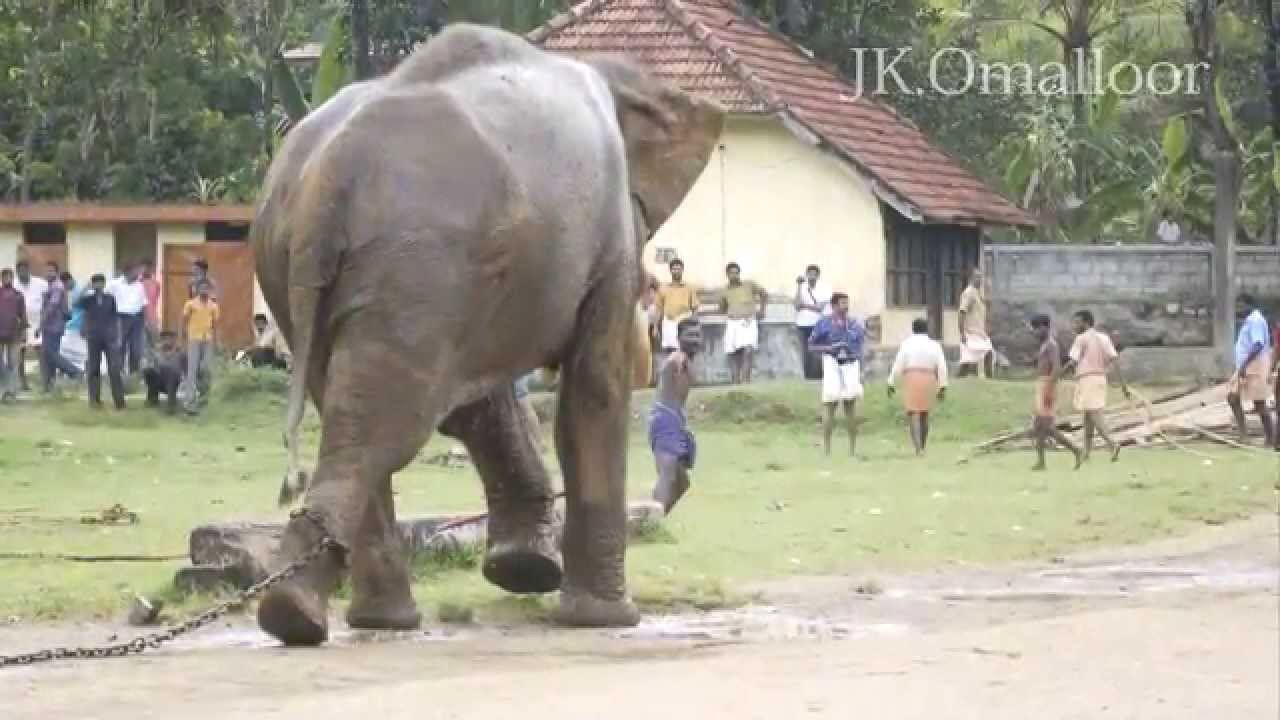 ELEPHANT ATTACK MAHOUT IN KERALA - YouTube