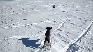 Blue Longhaired Weimaraner Pup On Frozen Lake Superior