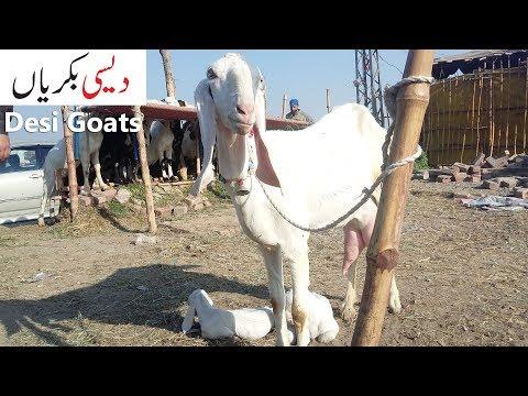 Goats - Desi Pakistani Goats Shahpur Kanjra Mandi Lahore 2018