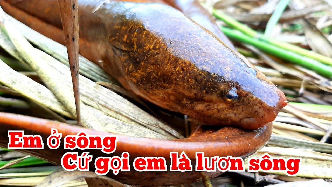 Câu lươn sông _ tập186//fishing eel. River filled with giant eels