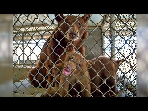 Mother Bear And Cubs Relocated To Oakland Zoo