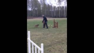 Theo - Border Terrier - Agility