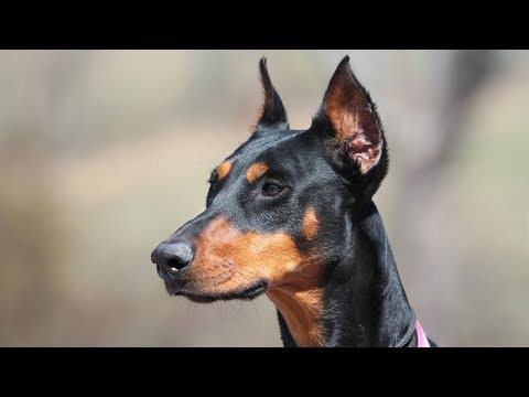 Doberman Pinscher Training - Environmental Socialization and Obedience Under Distraction